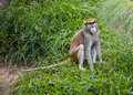 Patas Monkey on grass Royalty Free Stock Images