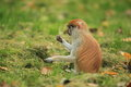Patas monkey juvenile the sitting in the grass Royalty Free Stock Images