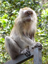 Patas monkey in singapore zoo Stock Photography