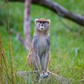 Patas monkey a single sitting down with a stare at the woodland park zoo Royalty Free Stock Images