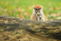 Patas monkey the young behind the trunk Stock Images