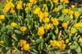 Patch of Prickly Pear Cactus in Full Bloom Royalty Free Stock Photo