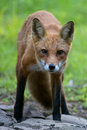 Patches the red fox staring and stalking Stock Images