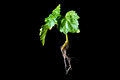 Patchouli plant with roots on black