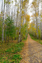 Path in autumn birch grove Stock Photo