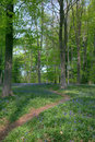 Path through Beech trees Stock Images
