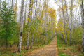 Path in birch grove autumn Stock Photos