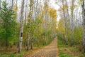 Path in birch grove autumn Stock Photos