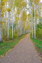 Path in birch grove autumn Stock Image