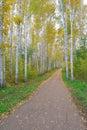 Path in birch grove autumn Stock Image