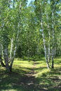 Path in a birch grove summer landscape the copse Stock Image