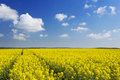 Path through blooming canola under a blue sky with clouds Royalty Free Stock Photo