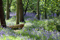 A path through a bluebell wood Royalty Free Stock Photography