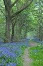 Path through bluebells Stock Image