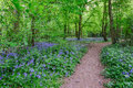 Path through the bluebells in the woods Royalty Free Stock Photo