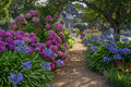 A path with colorful hydrangea leads to a rural house Royalty Free Stock Photo