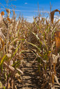 Path through the Cornfield Royalty Free Stock Photo