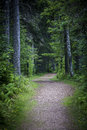 Path in dark moody forest winding through with tall old trees Royalty Free Stock Photo