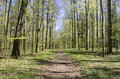 Path in forest in spring walking a beech Royalty Free Stock Photo