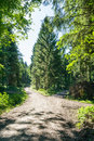 Path Fork Split in Dense Forest Trees Summer Foliage Dirt Footpath Daytime Bright Sunny Decision Royalty Free Stock Photo