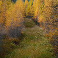 Path through the golden larches overgrown tamarack forest in adirondack mountains in autumn Stock Images