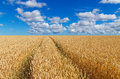 Path in a golden wheat field Royalty Free Stock Photo