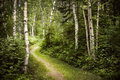 Path in green summer forest hiking trail lush with white birch trees Stock Images