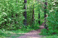 Path in green wild forest with pines and cones Royalty Free Stock Photo