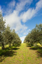 Path in italian vineyard between trees an Stock Photography
