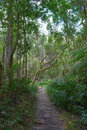 Path in knysna forest south africa a long narrow the deep wild of western cape province Royalty Free Stock Image