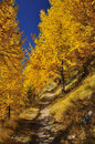 Path through larch wood in the fall Stock Photography