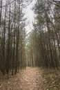 Path leading through pine forest giving alone and dark feel landscape Royalty Free Stock Photo