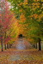 Path Lined with Maple Trees in Fall Season Royalty Free Stock Photo