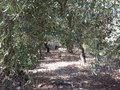Path between olive trees pkiin lane through yard Royalty Free Stock Photos