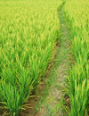 Path in the paddy fields Royalty Free Stock Images