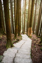 Path in pine forest Royalty Free Stock Photo