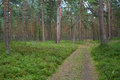 Path in pine grove Royalty Free Stock Photo