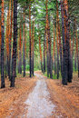 Path in the pine wood nature landscape with Royalty Free Stock Photo