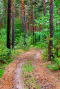 Path in the pine wood nature landscape with Royalty Free Stock Photos