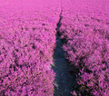 Path pink heather Stock Photos
