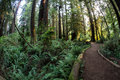 Path Through Redwood Trees in California Royalty Free Stock Photo