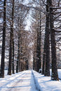 Path in the snow through of trees Royalty Free Stock Image