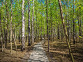 Path in the spring forest Royalty Free Stock Photo