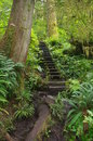 Path in temperate rainforest hiking pacific northwest Royalty Free Stock Photography