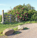 Path to gated secret garden photo of leading with rose bush in full bloom photo taken th june Stock Image
