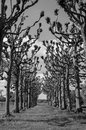 Path through trees dramatic black and white image of a creepy atmospheric avenue unusual and grass lawn Royalty Free Stock Images