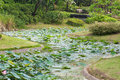 Path way of lotus leaf in park or water lily water or swamp Stock Photography