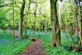 Path winding through bluebell woods Royalty Free Stock Photo