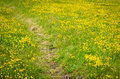 Path through the yellow field Royalty Free Stock Photo