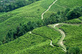 Paths in Tea Garden Royalty Free Stock Image